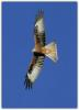 02_Red kite in flight.jpg