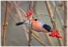 05_Bullfinch feeding.jpg