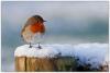 09_Robin in snow.jpg