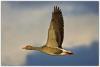 10_Greylag goose in flight.jpg