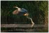12_Grey Heron.jpg