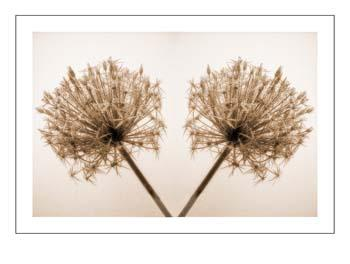 02 Double Allium.jpg