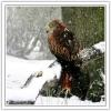 _7 LUST RED KITE SNOW2 .jpg