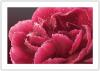 RED CARNATION WITH WATER DROPS.jpg