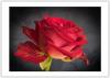 THE RED ROSE.jpg