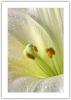 UPRIGHT WHITE LILY - (RIGHT SIDE- TOP).jpg