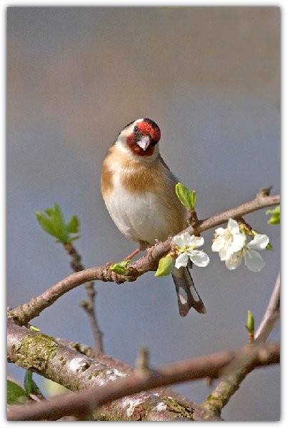 goldfinch..jpg
