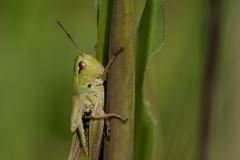 1.-Meadow-Grasshopper_-