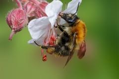 11.-Field-Bumblebee_-
