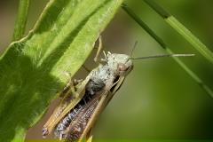 3.-Common-Field-Grasshopper_