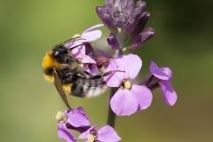 9.-Garden-Bumblebee_-