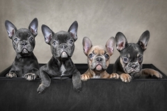 9-Box-Of-Bulldogs-French