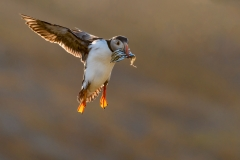 02-Incoming-Puffin