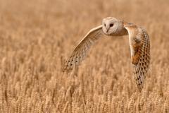 04-Barn-Owl-Quartering-a-Field