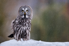06-Great-Grey-Owl-in-Snowfall