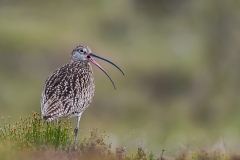 07-Calling-Curlew