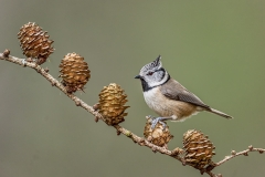 11-Crested-Tit