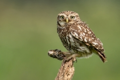 12-Little-Owl-with-Common-Shrew