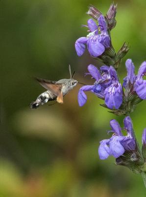 218-Humming-Bird-Hawk-Moth.jpg