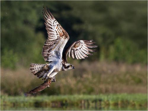 307-Osprey.jpg