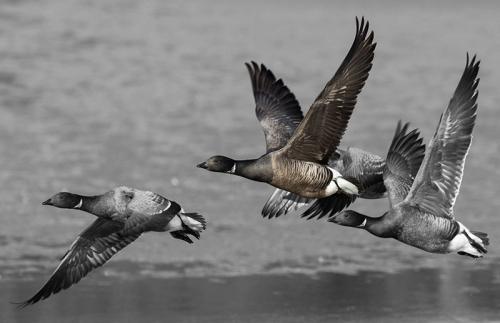 308-Brent-geese.jpg