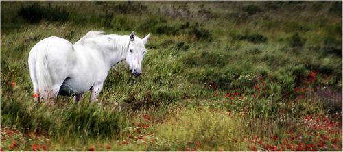 405-White-Horse.jpg