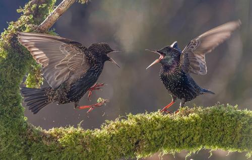 407-Squabbling-Starlings.jpg