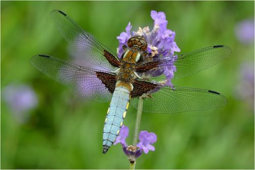 412-Broad-bodied-Chaser.jpg