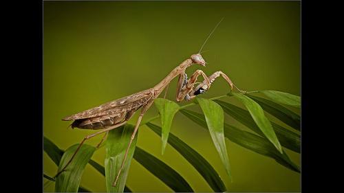 426-Praying-Mantis-Cleaning-Antenna.jpg
