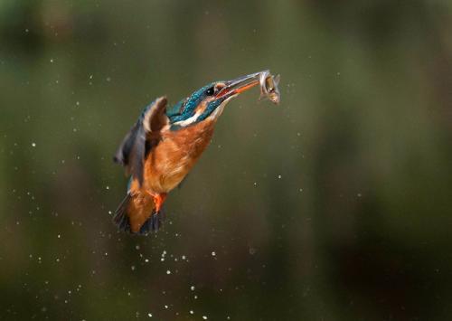 433-Kingfisher.jpg