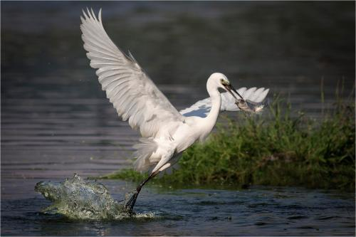 114-Egret-with-Fish.jpg