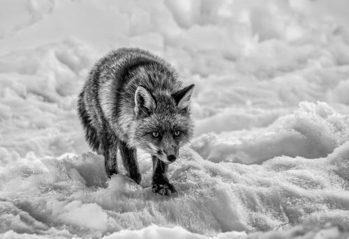 210-Red-Fox-in-Snow.jpg