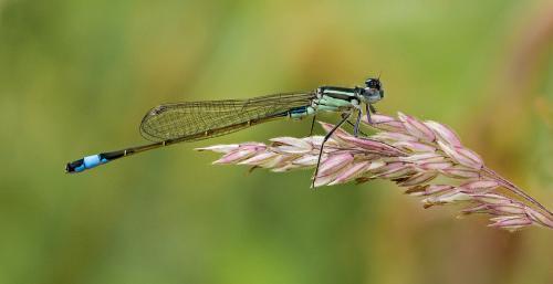 215-Blue-Damsel-on-Grass.jpg