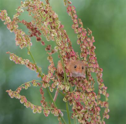 335-Harvest-Mouse.jpg