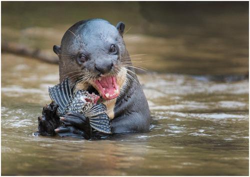 337-Otter-with-catfish.jpg