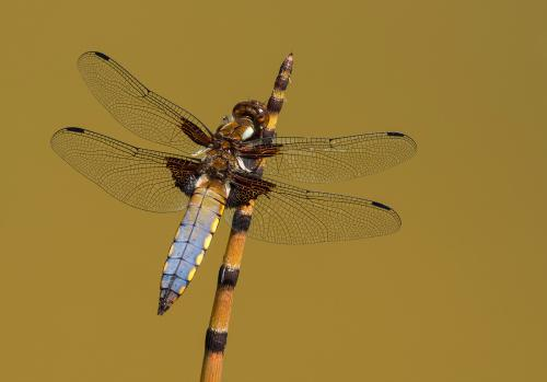 433-Broad-bodied-Chaser.jpg