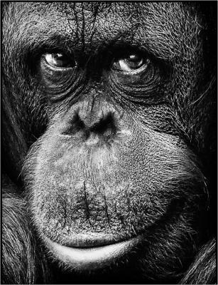 138 Orangutang (u looking at me).jpg