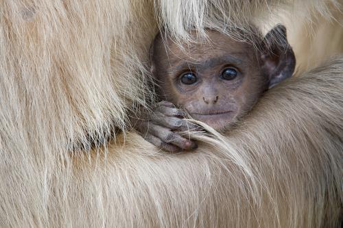 215 Baby Langur monkey.jpg