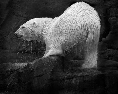 222 Polar_Bear_.jpg