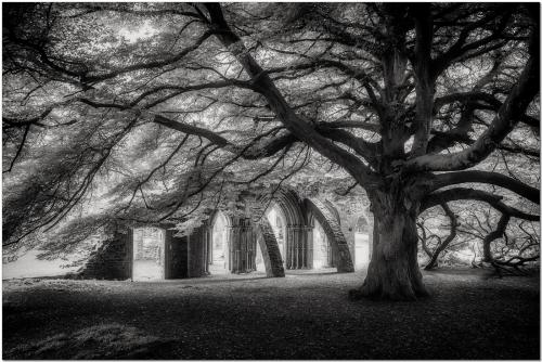 413 The Tree at Margam Abbey.jpg